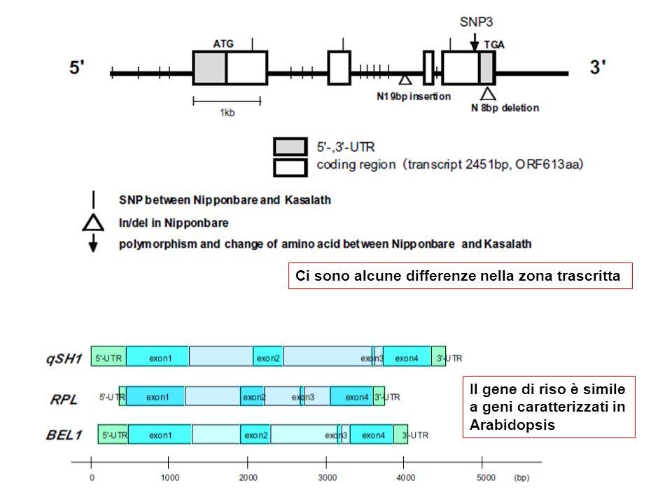 Ci sono alcune differenze nella zona trascritta Il gene di riso è simile a geni caratterizzati in Arabidopsis