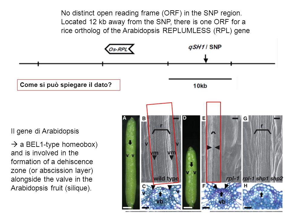 In situ analysis of qSH1 expression.