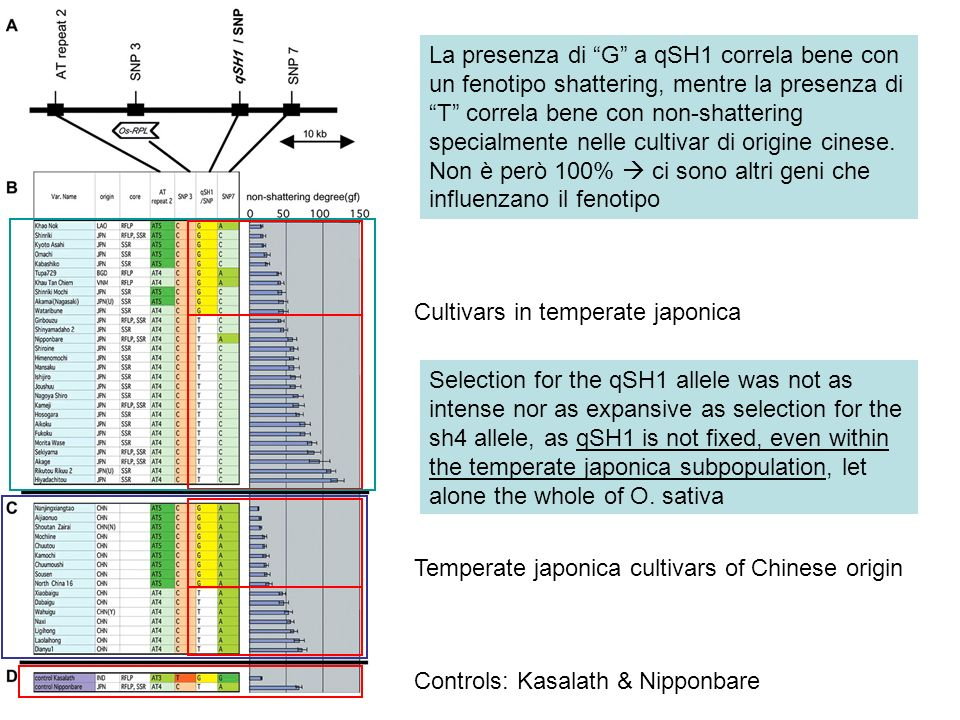 Temperate japonica cultivars of Chinese origin Selection for the qSH1 allele was not as intense nor as expansive as selection for the sh4 allele, as q