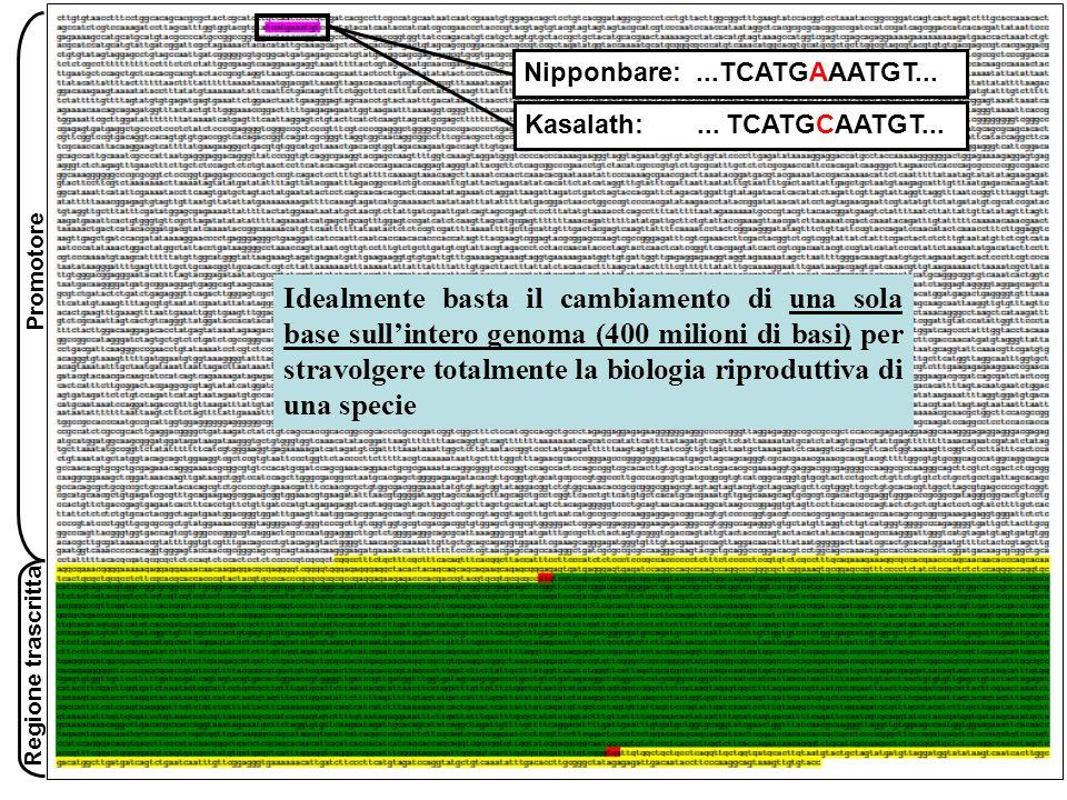 Nipponbare:...TCATGAAATGT... Kasalath:... TCATGCAATGT... Promotore Regione trascritta Idealmente basta il cambiamento di una sola base sullintero geno