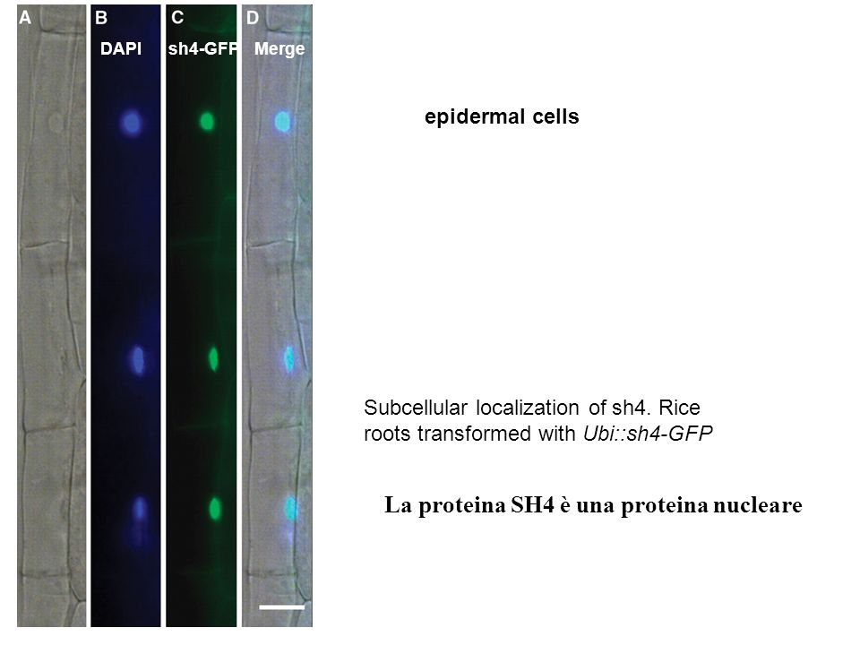 Subcellular localization of sh4. Rice roots transformed with Ubi::sh4-GFP epidermal cells DAPIsh4-GFP Merge La proteina SH4 è una proteina nucleare