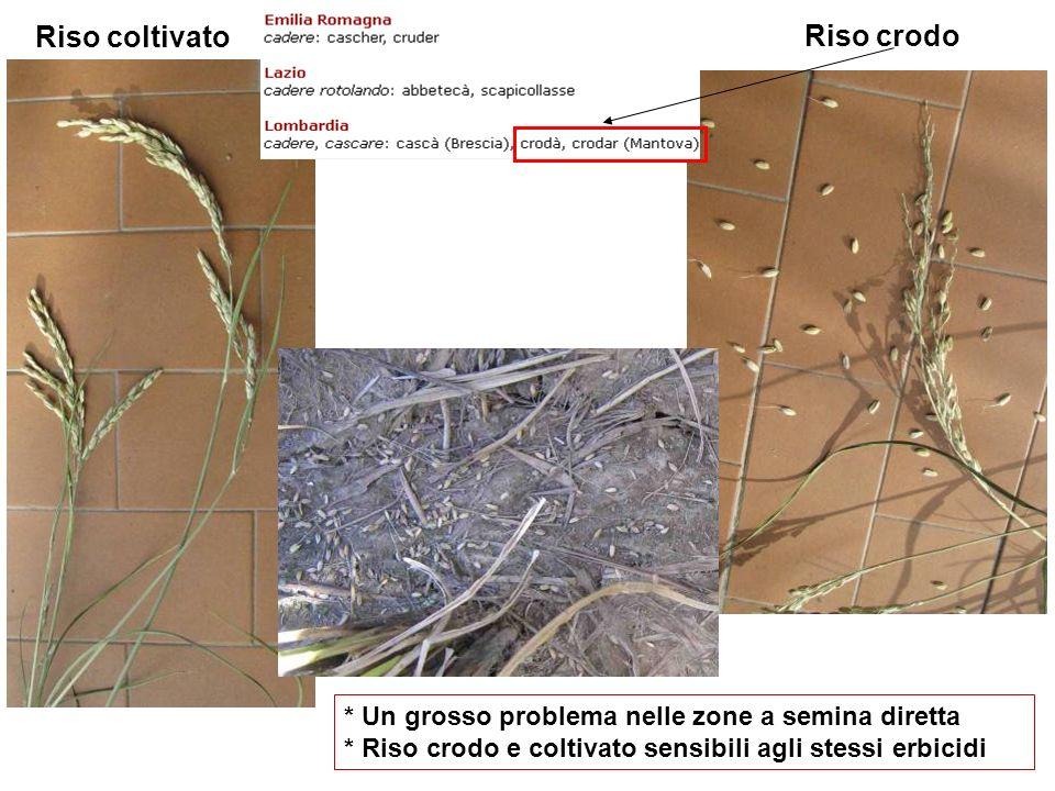 Riso crodo Riso coltivato * Un grosso problema nelle zone a semina diretta * Riso crodo e coltivato sensibili agli stessi erbicidi