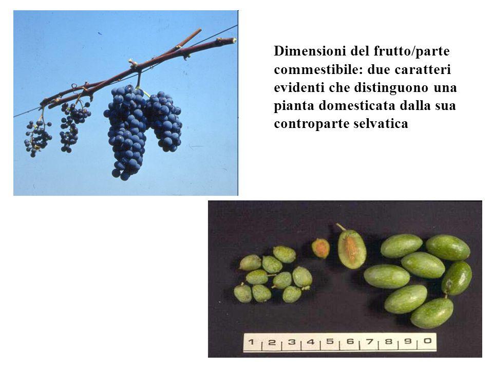 Dimensioni del frutto/parte commestibile: due caratteri evidenti che distinguono una pianta domesticata dalla sua controparte selvatica