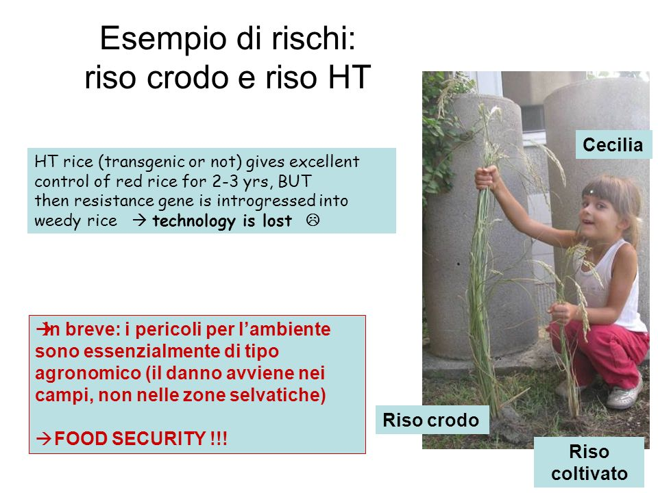 Riso crodo Riso coltivato Esempio di rischi: riso crodo e riso HT Cecilia In breve: i pericoli per lambiente sono essenzialmente di tipo agronomico (i