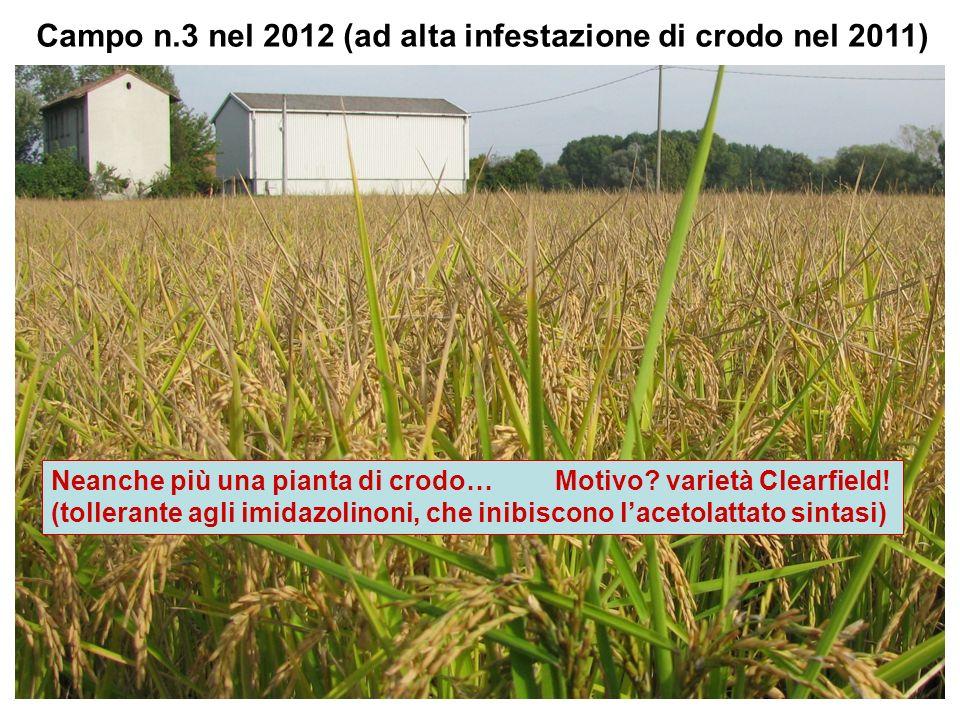 Campo n.3 nel 2012 (ad alta infestazione di crodo nel 2011) Neanche più una pianta di crodo… Motivo? varietà Clearfield! (tollerante agli imidazolinon