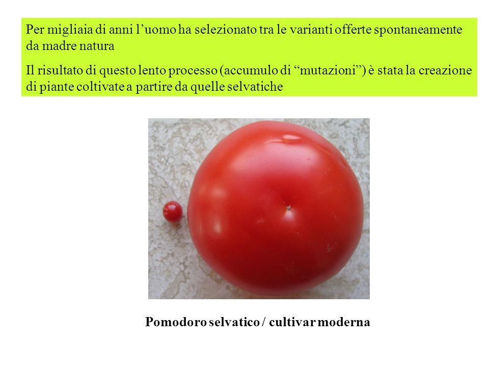Pomodoro selvatico / cultivar moderna Per migliaia di anni luomo ha selezionato tra le varianti offerte spontaneamente da madre natura Il risultato di