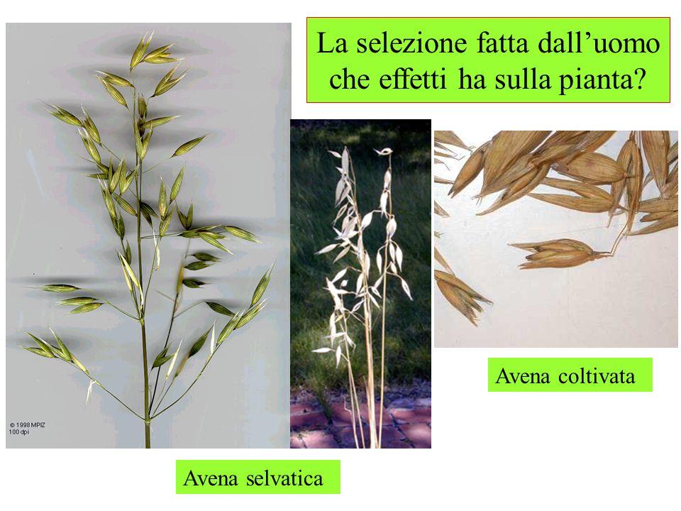 La selezione fatta dalluomo che effetti ha sulla pianta? Avena selvatica Avena coltivata