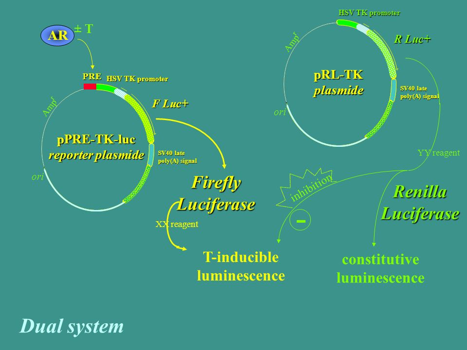 Firefly Luciferase T-inducible luminescence ± T AR HSV TK promoter F Luc+ SV40 late poly(A) signal pPRE-TK-luc reporter plasmide PRE ori Amp r HSV TK