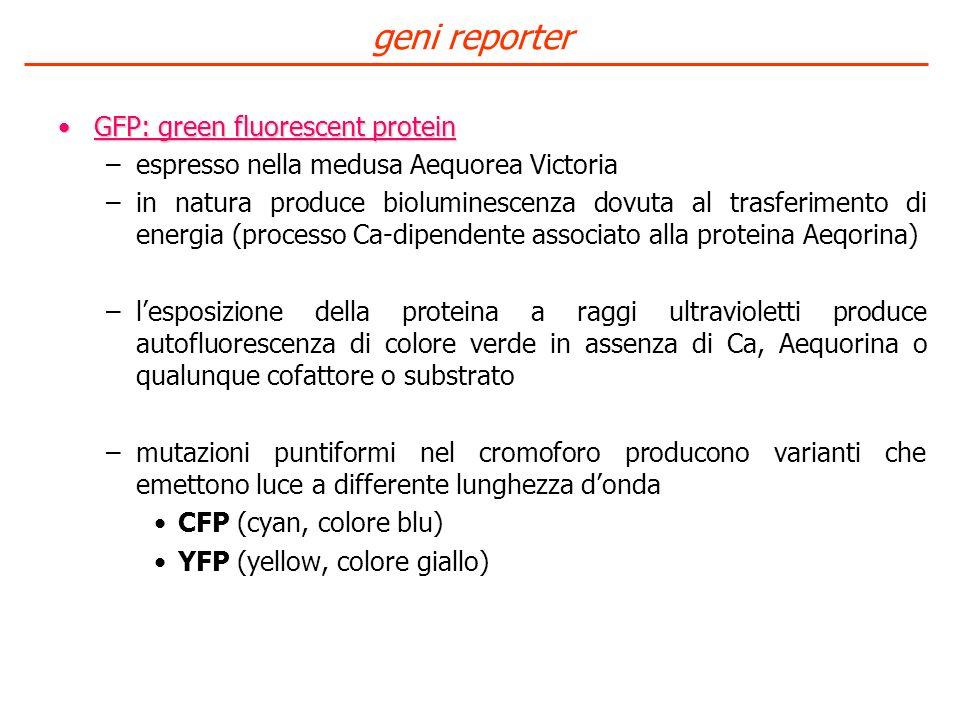 GFP: green fluorescent proteinGFP: green fluorescent protein –espresso nella medusa Aequorea Victoria –in natura produce bioluminescenza dovuta al tra