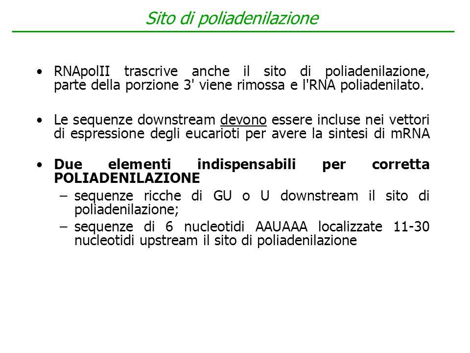 RNApolII trascrive anche il sito di poliadenilazione, parte della porzione 3' viene rimossa e l'RNA poliadenilato. Le sequenze downstream devono esser