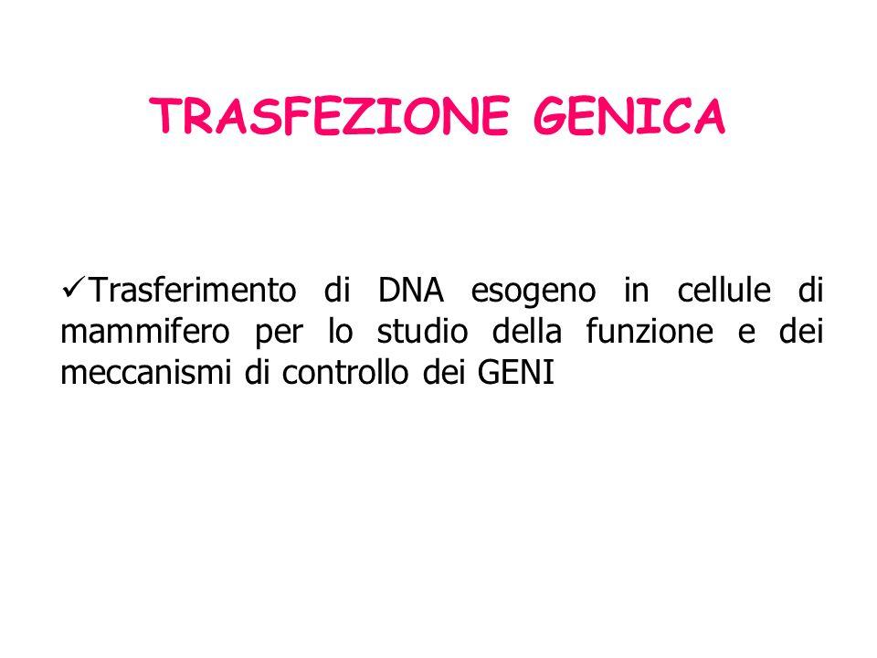 TRASFEZIONE GENICA Trasferimento di DNA esogeno in cellule di mammifero per lo studio della funzione e dei meccanismi di controllo dei GENI