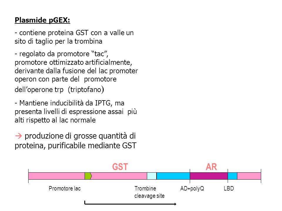 Plasmide pGEX: - contiene proteina GST con a valle un sito di taglio per la trombina - regolato da promotore tac, promotore ottimizzato artificialment