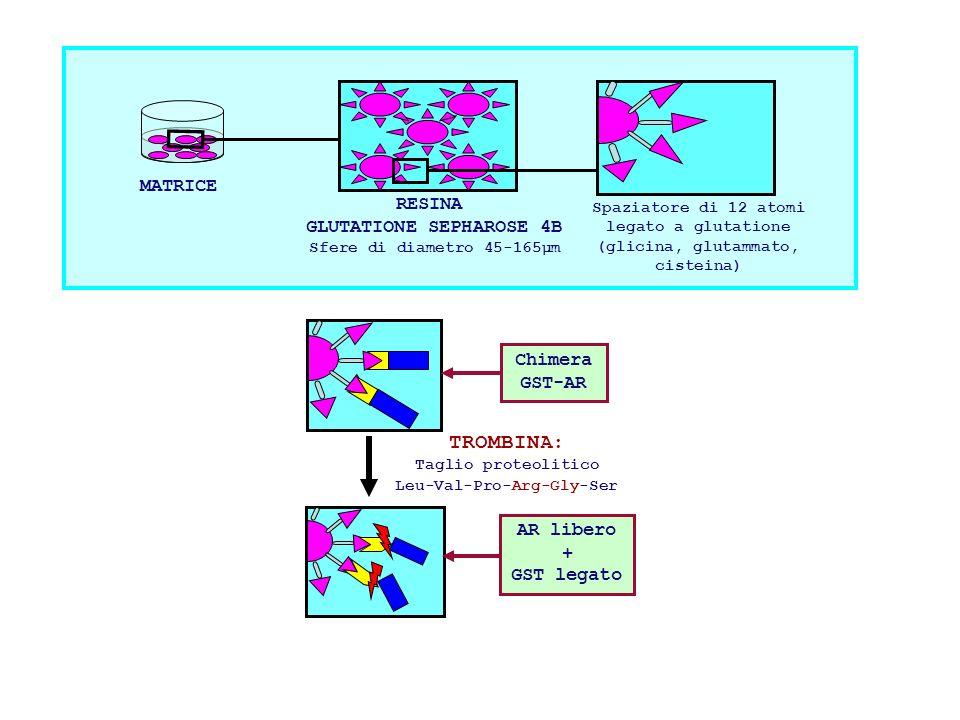 Chimera GST-AR TROMBINA: Taglio proteolitico Leu-Val-Pro-Arg-Gly-Ser AR libero + GST legato MATRICE RESINA GLUTATIONE SEPHAROSE 4B Sfere di diametro 4
