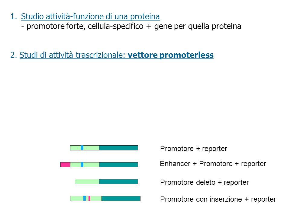 2. Studi di attività trascrizionale: vettore promoterless Promotore con inserzione + reporter Enhancer + Promotore + reporter Promotore deleto + repor