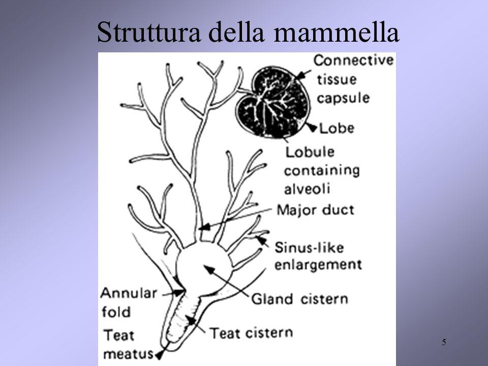 5 Struttura della mammella
