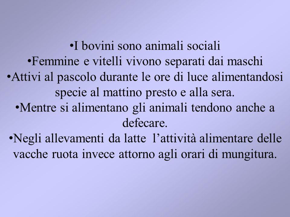 I bovini sono animali sociali Femmine e vitelli vivono separati dai maschi Attivi al pascolo durante le ore di luce alimentandosi specie al mattino pr
