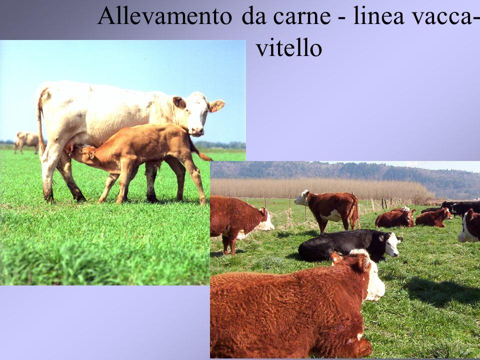 21 Allevamento da carne - linea vacca- vitello