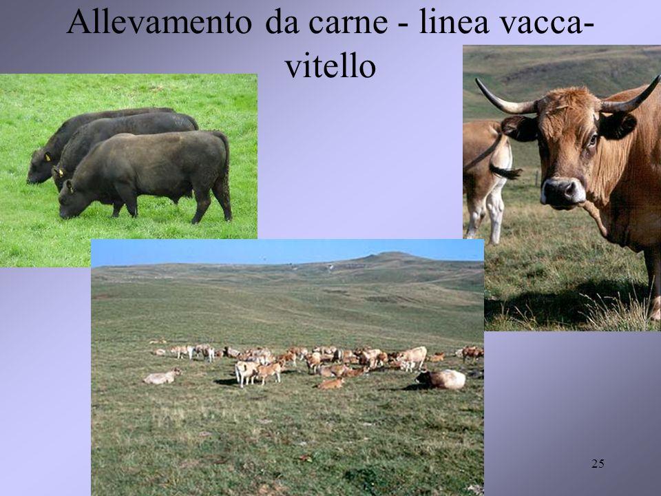25 Allevamento da carne - linea vacca- vitello