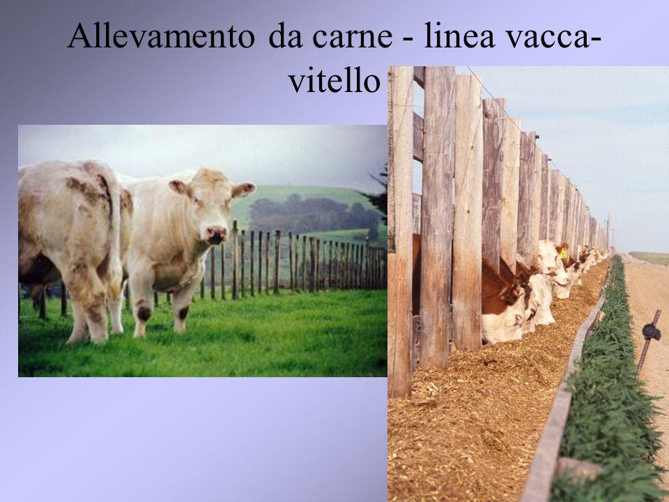 27 Allevamento da carne - linea vacca- vitello
