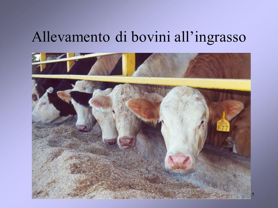 35 Allevamento di bovini allingrasso
