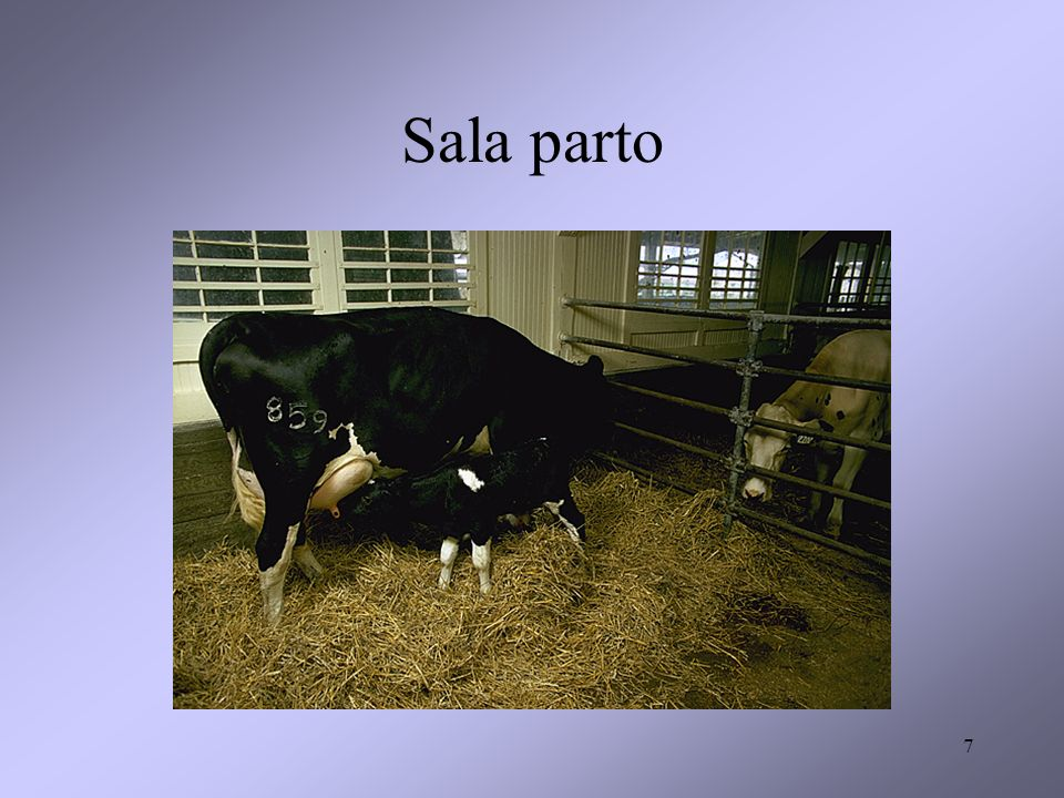 28 Allevamento da carne - linea vacca- vitello: questi sono i competitori