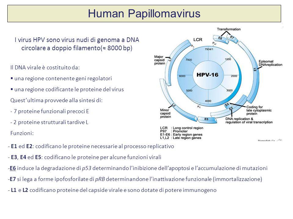 I virus HPV sono virus nudi di genoma a DNA circolare a doppio filamento( 8000 bp) Il DNA virale è costituito da: una regione contenente geni regolato