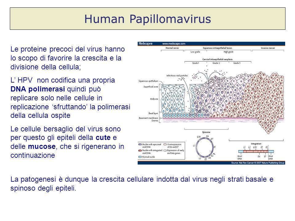 Human Papillomavirus Le proteine precoci del virus hanno lo scopo di favorire la crescita e la divisione della cellula; L HPV non codifica una propria