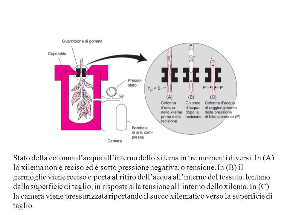 Stato della colonna dacqua allinterno dello xilema in tre momenti diversi. In (A) lo xilema non è reciso ed è sotto pressione negativa, o tensione. In