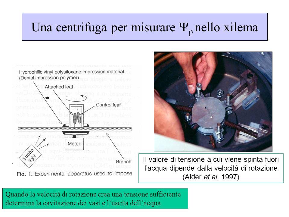 Una centrifuga per misurare Ψ p nello xilema Quando la velocità di rotazione crea una tensione sufficiente determina la cavitazione dei vasi e luscita