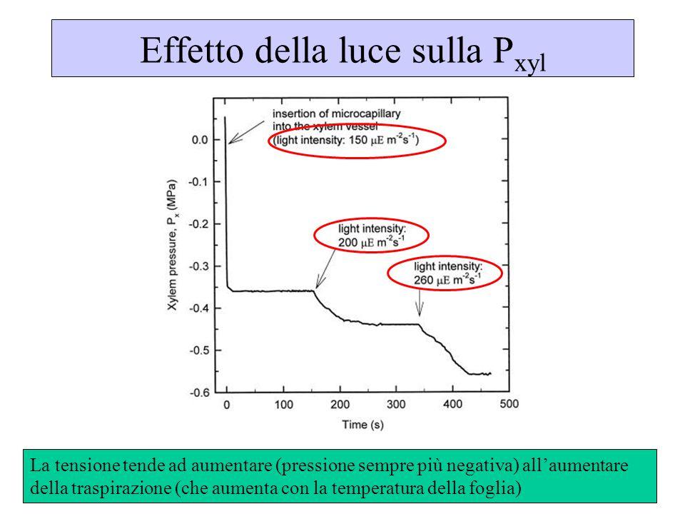 Effetto della luce sulla P xyl La tensione tende ad aumentare (pressione sempre più negativa) allaumentare della traspirazione (che aumenta con la tem