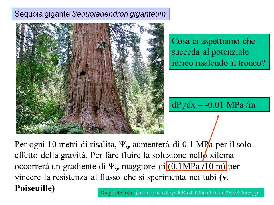 Sequoia gigante Sequoiadendron giganteum Diapositiva da: jan.ucc.nau.edu/gwk/Bio4262006/Lecture7Feb3,2006.pptjan.ucc.nau.edu/gwk/Bio4262006/Lecture7Fe