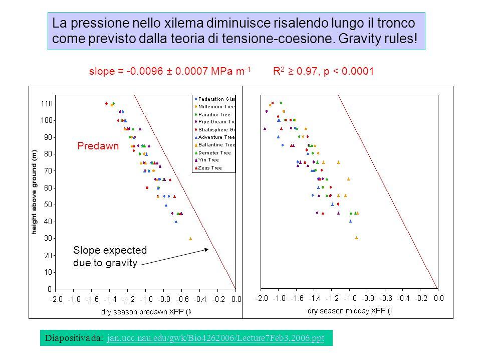 La pressione nello xilema diminuisce risalendo lungo il tronco come previsto dalla teoria di tensione-coesione. Gravity rules! Diapositiva da: jan.ucc