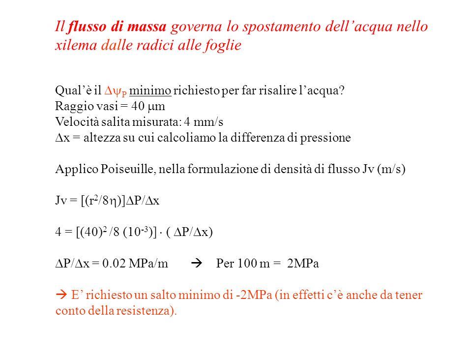 Il flusso di massa governa lo spostamento dellacqua nello xilema dalle radici alle foglie Qualè il P minimo richiesto per far risalire lacqua? Raggio