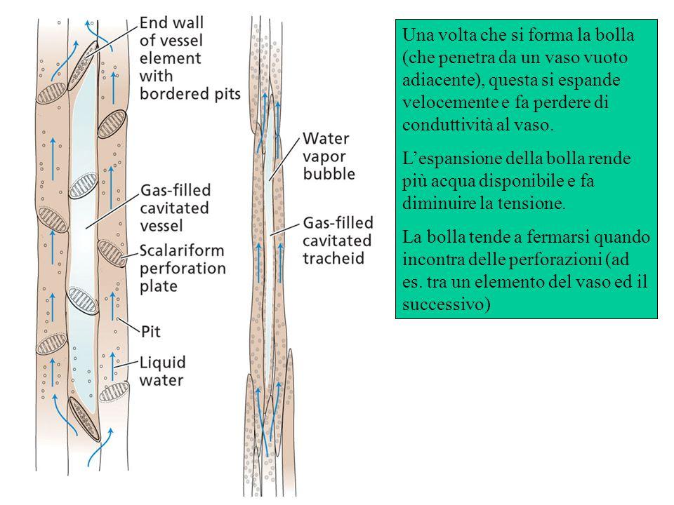Una volta che si forma la bolla (che penetra da un vaso vuoto adiacente), questa si espande velocemente e fa perdere di conduttività al vaso. Lespansi