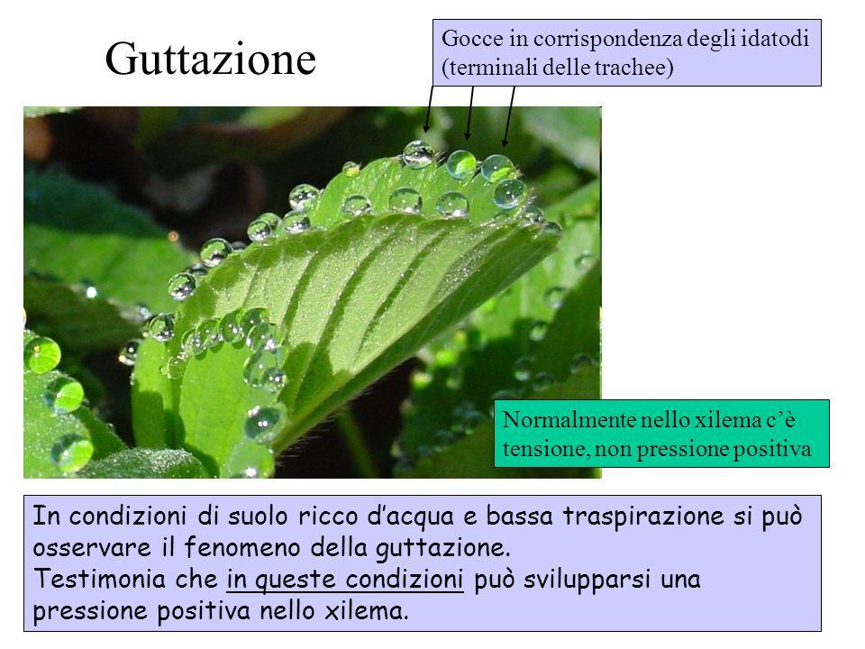 Guttazione In condizioni di suolo ricco dacqua e bassa traspirazione si può osservare il fenomeno della guttazione. Testimonia che in queste condizion