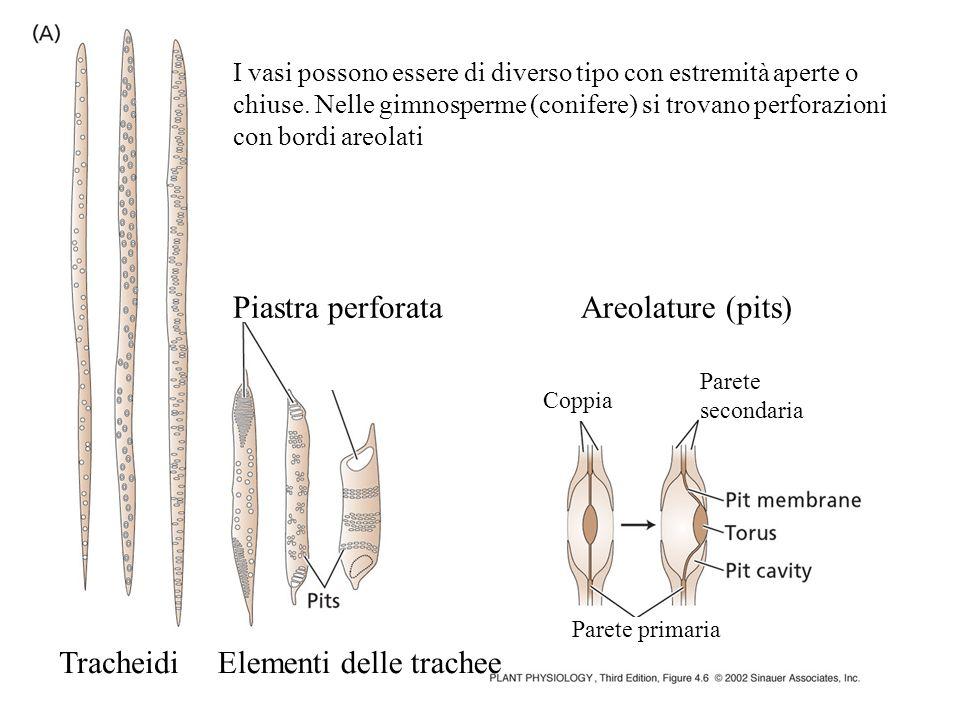 TracheidiElementi delle trachee Piastra perforataAreolature (pits) Coppia Parete secondaria Parete primaria I vasi possono essere di diverso tipo con
