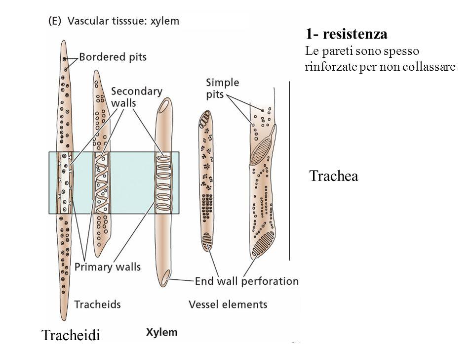 La pressione nello xilema diminuisce risalendo lungo il tronco come previsto dalla teoria di tensione-coesione.