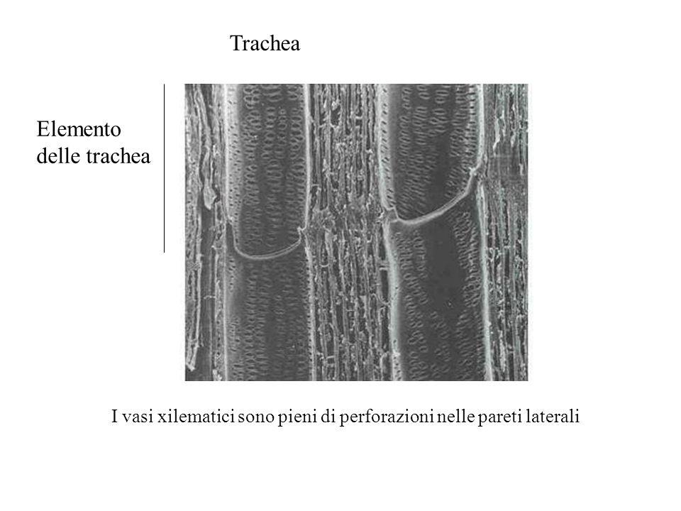 I vasi xilematici sono pieni di perforazioni nelle pareti laterali Trachea Elemento delle trachea