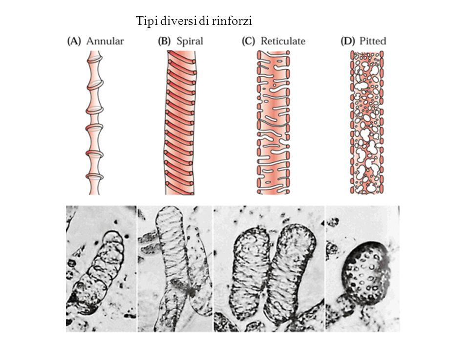 Punteggiature nelle gimnosperme Visione di lato Visione di lato (ingrandita) in sezione Immagini da: www.biologie.uni-hamburg.de/b-online/e06/hoftupf.htm
