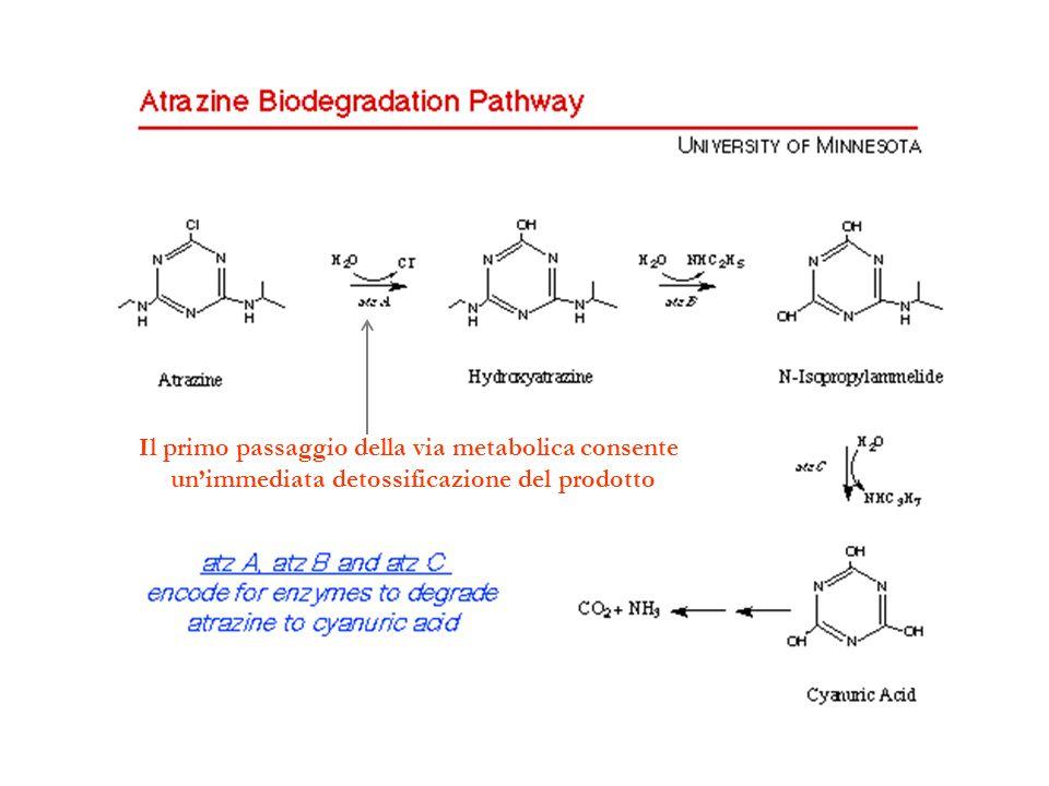 Il primo passaggio della via metabolica consente unimmediata detossificazione del prodotto