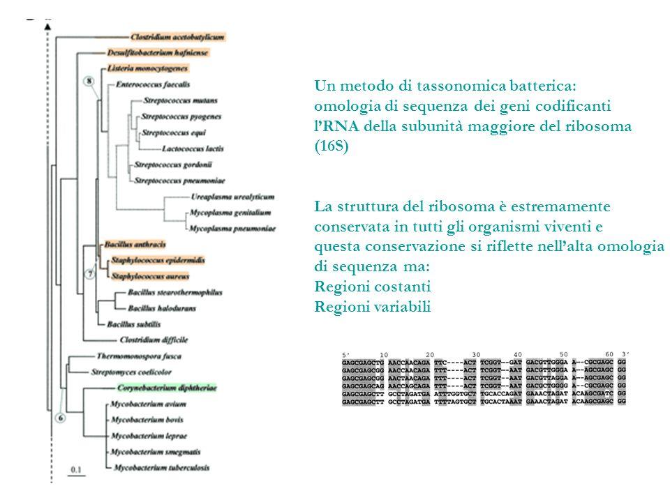 Un metodo di tassonomica batterica: omologia di sequenza dei geni codificanti lRNA della subunità maggiore del ribosoma (16S) La struttura del ribosom