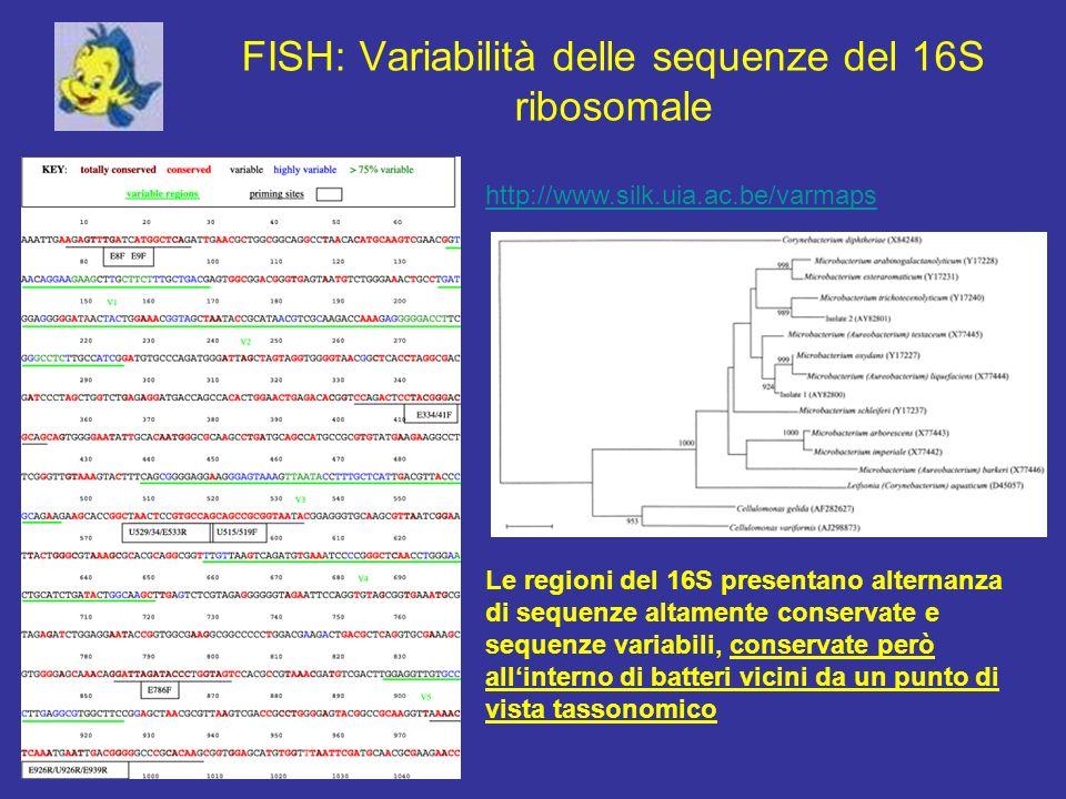 FISH: Variabilità delle sequenze del 16S ribosomale http://www.silk.uia.ac.be/varmaps Le regioni del 16S presentano alternanza di sequenze altamente c