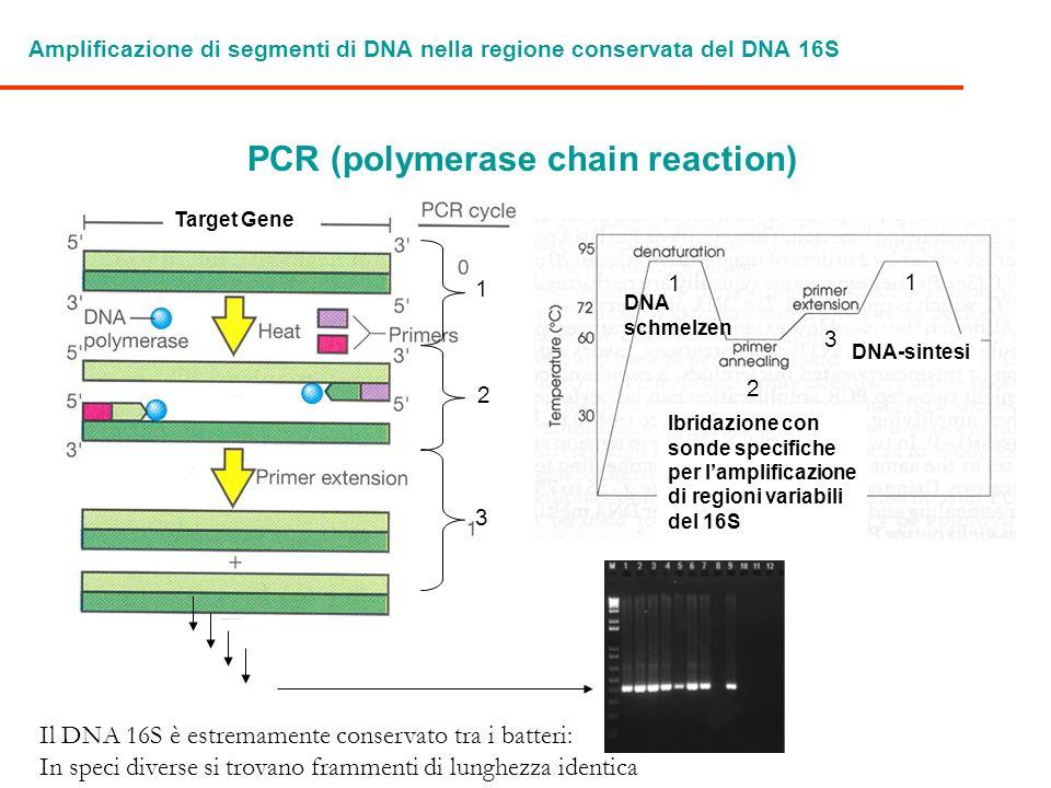 Amplificazione di segmenti di DNA nella regione conservata del DNA 16S PCR (polymerase chain reaction) 1 2 3 1 2 3 1 Target Gene DNA schmelzen Ibridaz