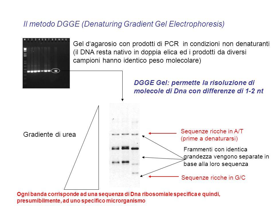 Il metodo DGGE (Denaturing Gradient Gel Electrophoresis) Gel dagarosio con prodotti di PCR in condizioni non denaturanti (il DNA resta nativo in doppi