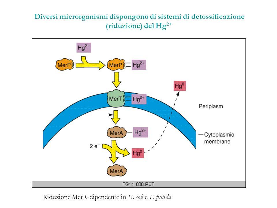 Diversi microrganismi dispongono di sistemi di detossificazione (riduzione) del Hg 2+ Riduzione MerR-dipendente in E. coli e P. putida