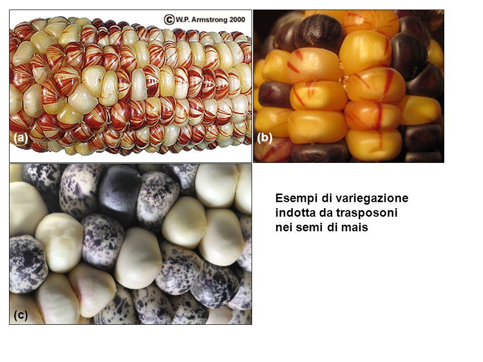 (a) (b) (c) Esempi di variegazione indotta da trasposoni nei semi di mais