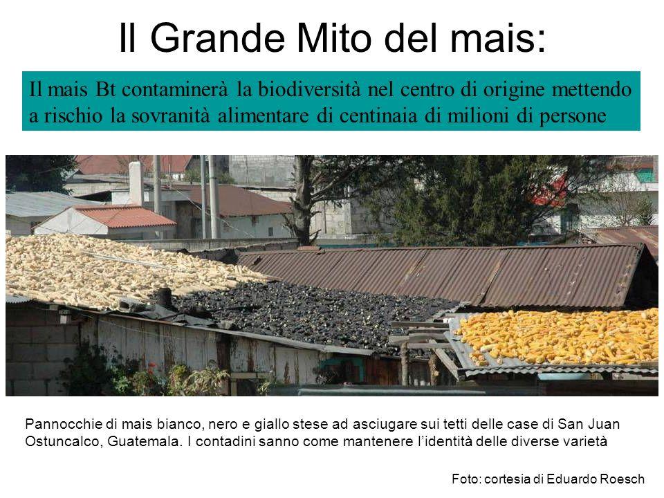Il mais Bt contaminerà la biodiversità nel centro di origine mettendo a rischio la sovranità alimentare di centinaia di milioni di persone Pannocchie di mais bianco, nero e giallo stese ad asciugare sui tetti delle case di San Juan Ostuncalco, Guatemala.