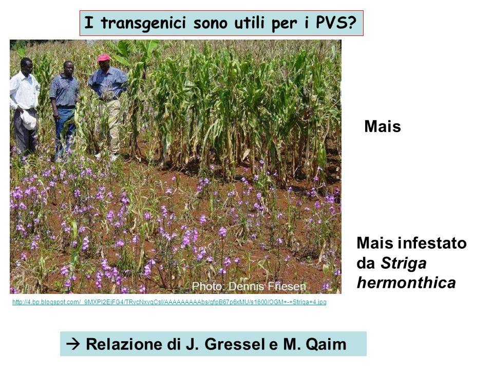 Relazione di J. Gressel e M. Qaim http://4.bp.blogspot.com/_9MXPl2EjFG4/TRycNxyqCsI/AAAAAAAAAbs/qfpB67p6xMU/s1600/OGM+-+Striga+4.jpg Mais Mais infesta