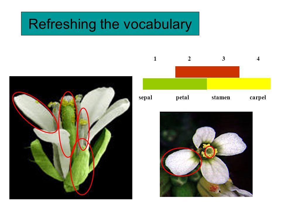 Refreshing the vocabulary 3 stamen 1 sepal 2 petal 4 carpel