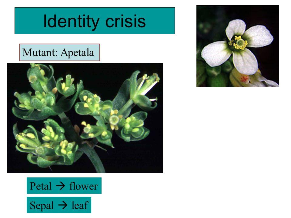 Identity crisis Petal flower Sepal leaf Mutant: Apetala